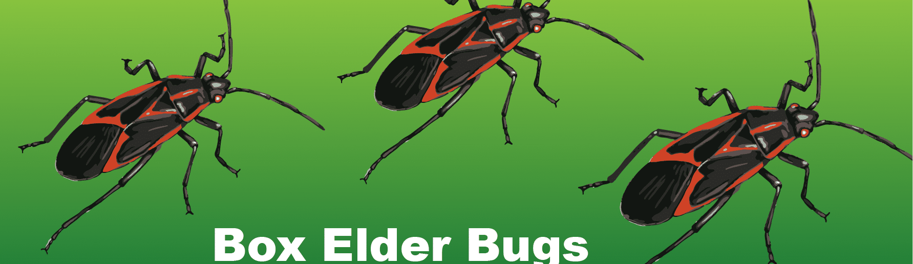 box elder bugs infographic header