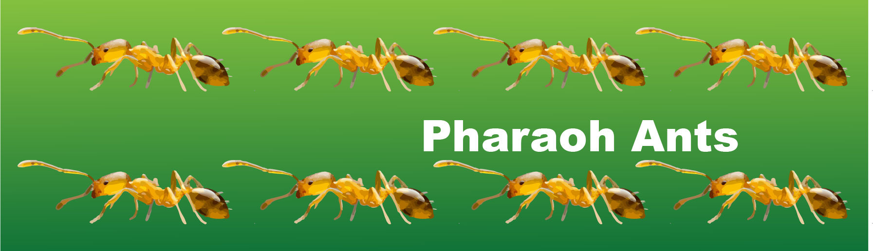 pharaoh ants illustration graphic design