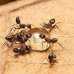 pest-acrobat-ants