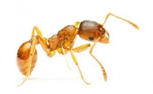 small brown ant - pharaoh ant