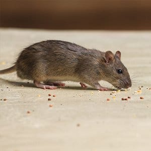 rodent control staten island