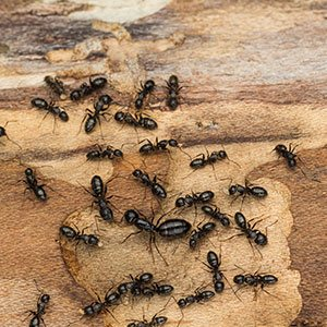 carpenter ants extermination staten island