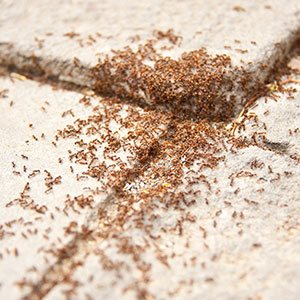pavement ants staten island