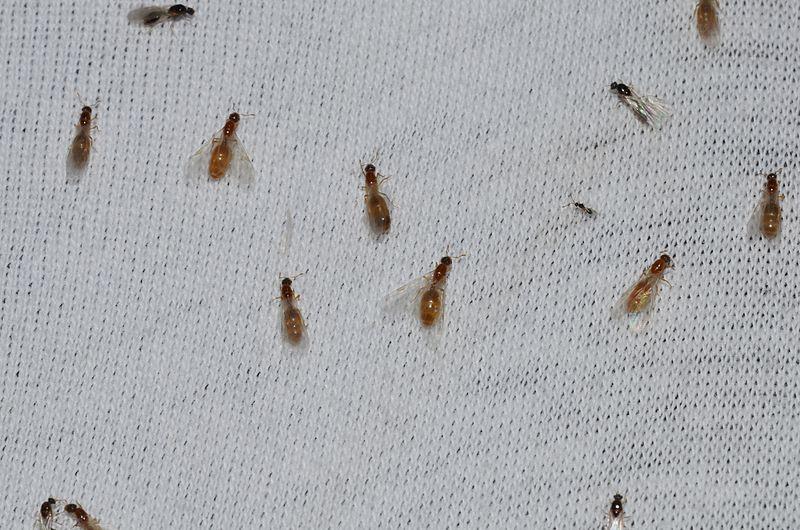 Thief ants extermination Staten Island