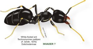 white footed ant diagram