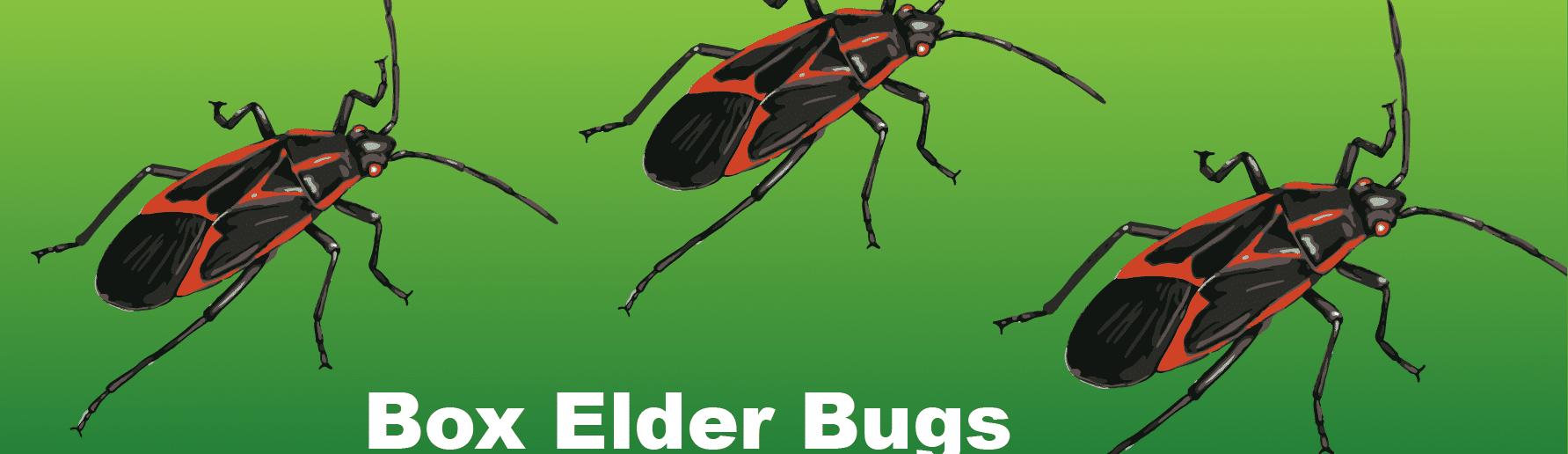 box elder bugs infographic header