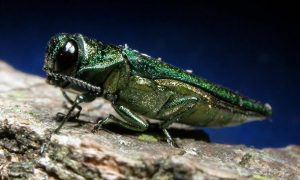 emerald-ash-borer-extermination