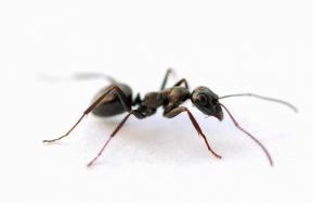 little-black-ant-extermination