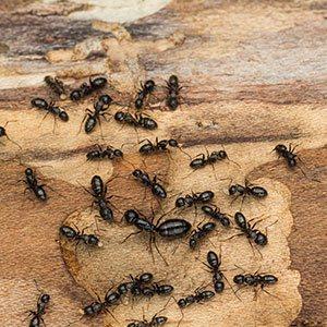carpenter ants extermination staten island