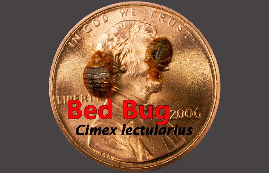 Bed bug on penny for size